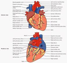 Pig Anatomy Chart Labeled Diagram Of The Heart Pig Heart Dissection Handout