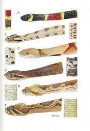 Snake Identification Chart Image Result For Australian Snakes Identification Chart