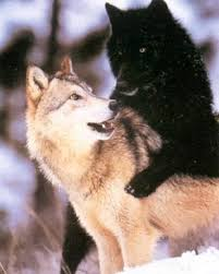 black wolf and white wolf love. Perfect White Black Wolf And White Love  Photo7 To Wolf And White Love C