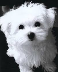 maltese dog. maltese puppy cut dog