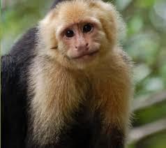Golden Lion Tamarin Monkey Coloring Pages L L L L L L L L