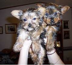 two cute teacup yorkie puppies for adoption 321 236 6211