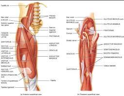 Upper Leg Muscle Chart Diagram Of Upper Leg Muscles Hip Muscles Anatomy Knee