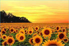 12 New Minimalist Pinterest Sunflower ...