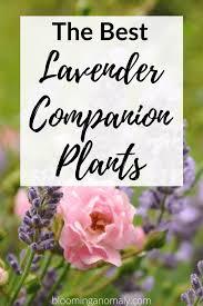 the best lavender companion plants