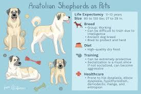 Anatolian Shepherd Puppy Growth Chart Anatolian Shepherd Full Profile History And Care
