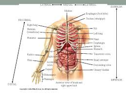 Localization lung and thoracic cell heart esophagus. Anatomical Language Bio 137 Anatomy Physiology I Lab