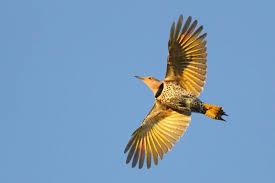 Northern Flicker (0ne red feather) S Kolbe | Northern flicker, Red feather,  Flicker