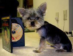 Toy Yorkie Growth Chart Estimate Your Puppys Weight And Size Yorkiepassion Com