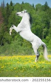 white horse rearing.  Horse White Horse Rearing Up To Horse Rearing I