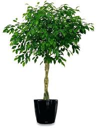 tall house plants there are plants in the ficus family that can grow amazingly tall and tall house plants