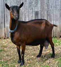 Dairy Goat Breeds The Livestock Conservancy