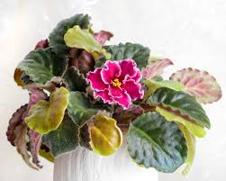 african violet leaves turning yellow