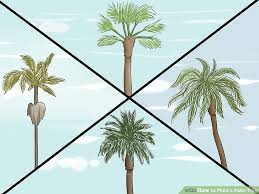 how to plant a palm tree 15 steps with pictures wikihow