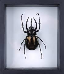 See Through Glass The Atlas Beetle Chalcosoma Atlas See Through Glass Frame Nof8