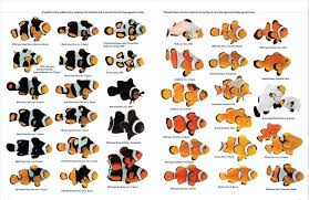 Clown Fish Identification Chart Clown Fish Chart From Reef 2 Reef Marine Aquarium Fish