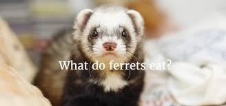 Ferret Food Chart What Do Ferrets Eat The Best Food For Your Ferret And The