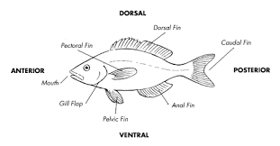 Grouper Species Chart Grouper Fish Diagram Wiring Diagram Symbols And Guide