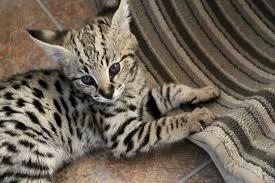 f1 savannah cat for
