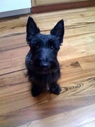 scottish terrier mix. Contemporary Terrier Cairn Terrierscottish Terrier Mix Intended Scottish Terrier Mix T