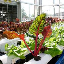 indoor hydroponic vegetable garden. Chard And Lettuce Grown Hydroponically. Note How Big Healthy They Are. Indoor Hydroponic Vegetable Garden D