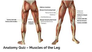 Pin By Aztcfireflower On Learrrrnnnn Leg Muscles Anatomy