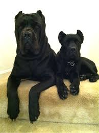 about us queen city cane corso