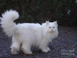 white persian cat. Beautiful Cat Persian Photograph  Cat White By Lyssjart Sj And