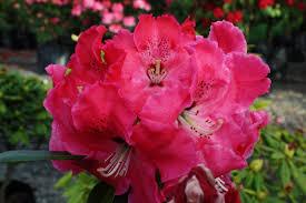 Rhododendron Arnold Piper – Kilmarnock Nurseries