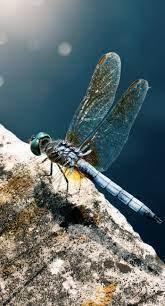 Animal dragonfly