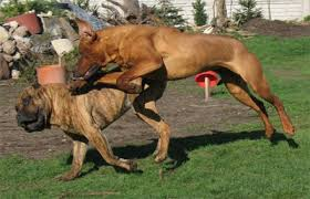 pitbull dog fights caught on tape. Interesting Fights ITT Dogs That Can Beat Game Pit Bulls With Pitbull Dog Fights Caught On Tape