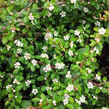 small glossy dark green leaves white to pale pink flowers in early summer followed by bright orange red berries an excellent ground cover plant