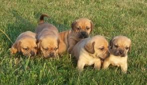 puggle puppies wallpaper. Contemporary Wallpaper Pocket Puggle Puppies With Wallpaper L