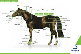 Whole Body Chart Downloads Anatomy Charts Dechra Veterinary Products