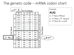 Transcription And Translation And The Genetic Code