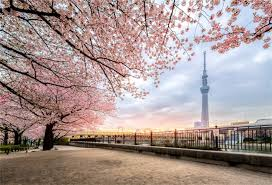 Japanese Cherry Blossom Background Wallpaper Collections At