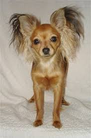 view from the front a tan russian toy terrier dog is standing on a white