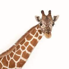 picture of a giraffe. Modren Picture Inside Picture Of A Giraffe N
