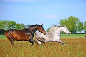 horses galloping in a field. Unique Galloping Two Horse Galloping On Grass Field For Horses Galloping In A Field A