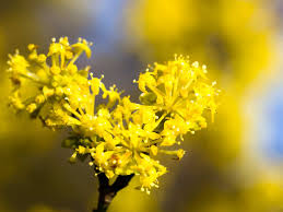 campus mas the cornelian cherry is a flowering shrub that provides spring colour