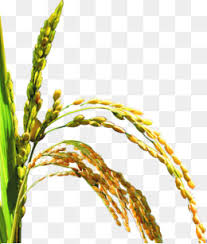 rice plant clipart.  Clipart Yellow Rice Rice Clipart Product Kind Yellow PNG Image And Clipart For Plant S