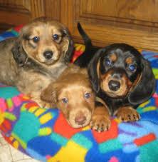 heartland dachshunds of southern illinois