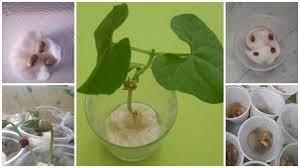 A germinação de feijão em algodão é uma. Como Plantar Feijao No Algodao Para Ensinar As Criancas