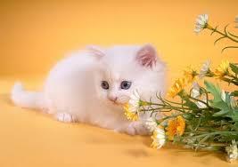 beautiful white cats wallpaper. Perfect Wallpaper Beautiful White Cute Cat Wallpaper Zoom Zoom With Cats Wallpaper R