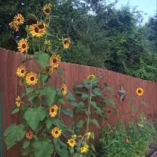 loads of sunflowers plants garden