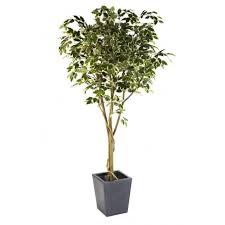 office tree. Ficus Benjamina Tree Set In A Contemporary Planter Office E