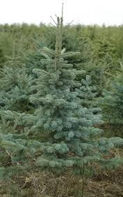 Types Of Christmas Trees  At HomeTypes Of Fir Christmas Trees