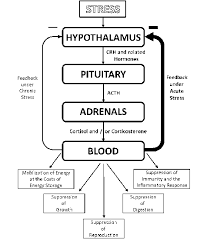 The Hypothalamic Pituitary Adrenal Hpa Axis The Negative Feedback
