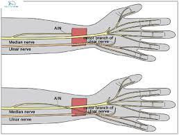 ulnar nerve motor supply