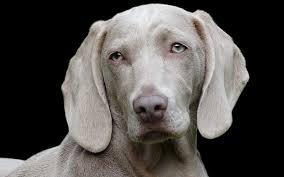 Weimaraner Dog Breed Information Center A Complete Guide